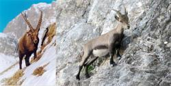 1-goat-and-ibex-on-steep-slope.jpg